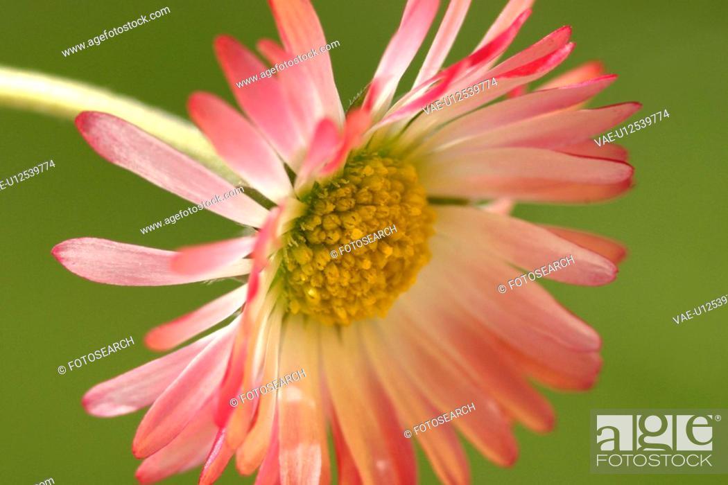 Stock Photo: blossom, alfred, bloom, bellis, Austria, abloom.