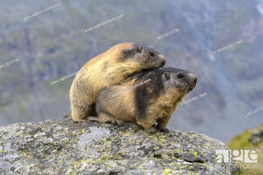 Stock Photo: Alpine Marmot, Marmota marmota, two adult, Hohe Tauern National park, Austria.