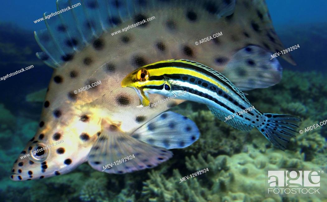 Stock Photo: Striped poison-fang blenny, Meiacanthus grammistes. Intimidating a grouper away from its territory. These fish have large canines associated with venom glands.