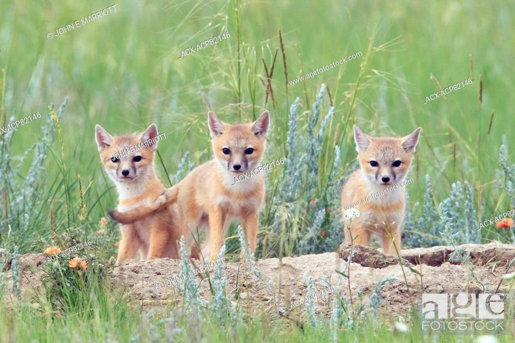 Stock Photo: Wild swift fox pups on the Canadian Prairies. Swift fox are an endangered species in Canada.