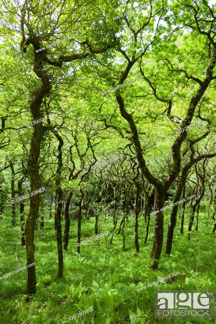 Stock Photo: Sessile Oak on the bank of the East Lyn River in Barton Wood, Exmoor National Park near Watersmeet, Devon, England.