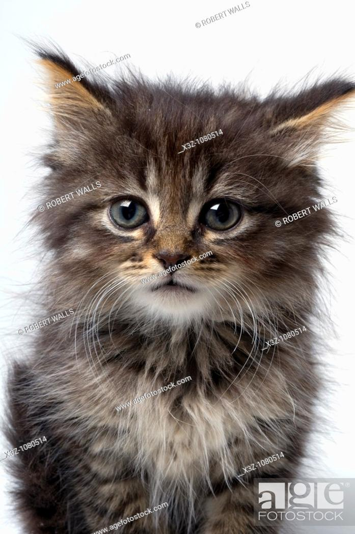 Stock Photo: Cute six week old kitten.