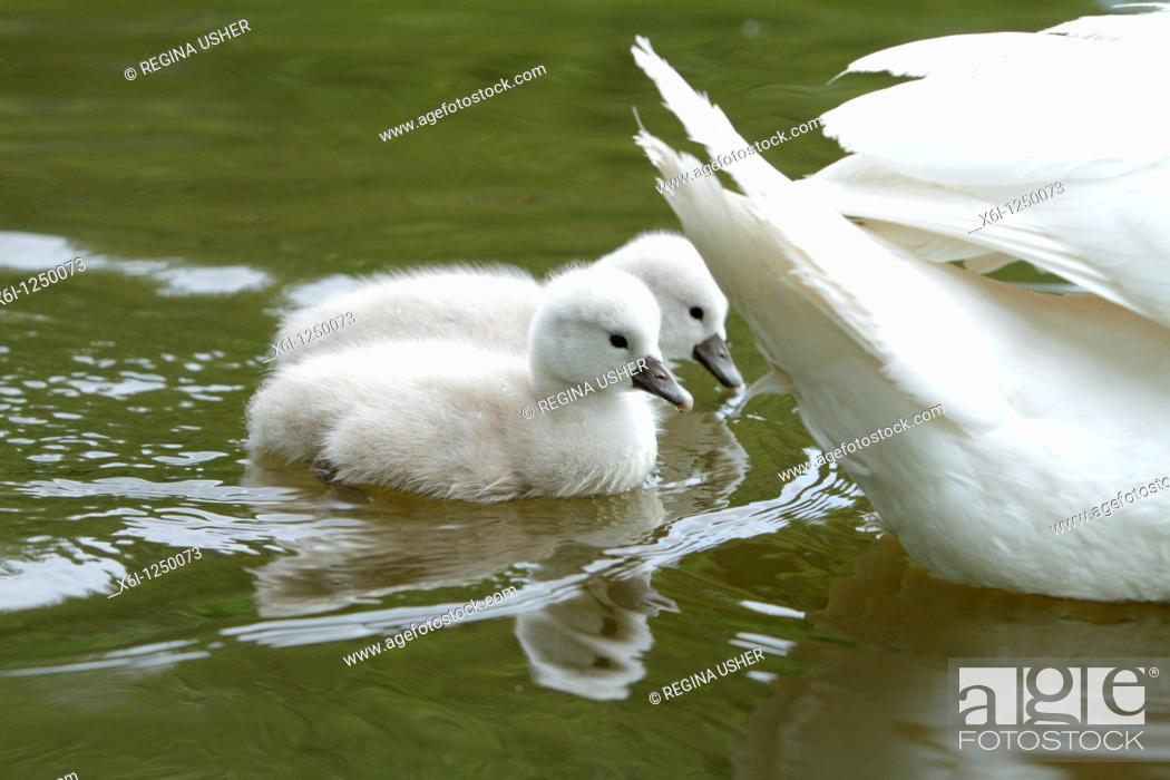 Imagen: Mute Swan Cygnus olor, two cygnets swimming on lake beside parent bird, Germany.
