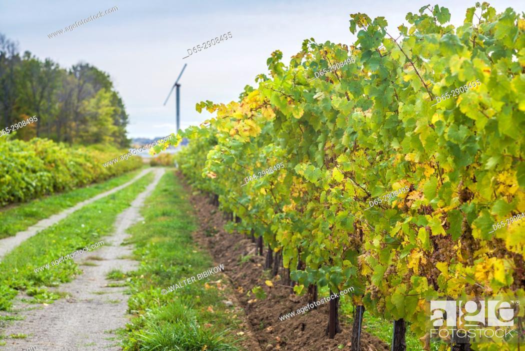 Stock Photo: Canada, Ontario, Niagara On the Lake Wine Country, vineyards, autumn.