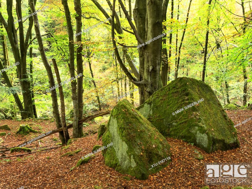 Stock Photo: Autumn trees and mossy boulders surrounded by fallen leaves in Skrikes Wood near Pateley Bridge North Yorkshire England.