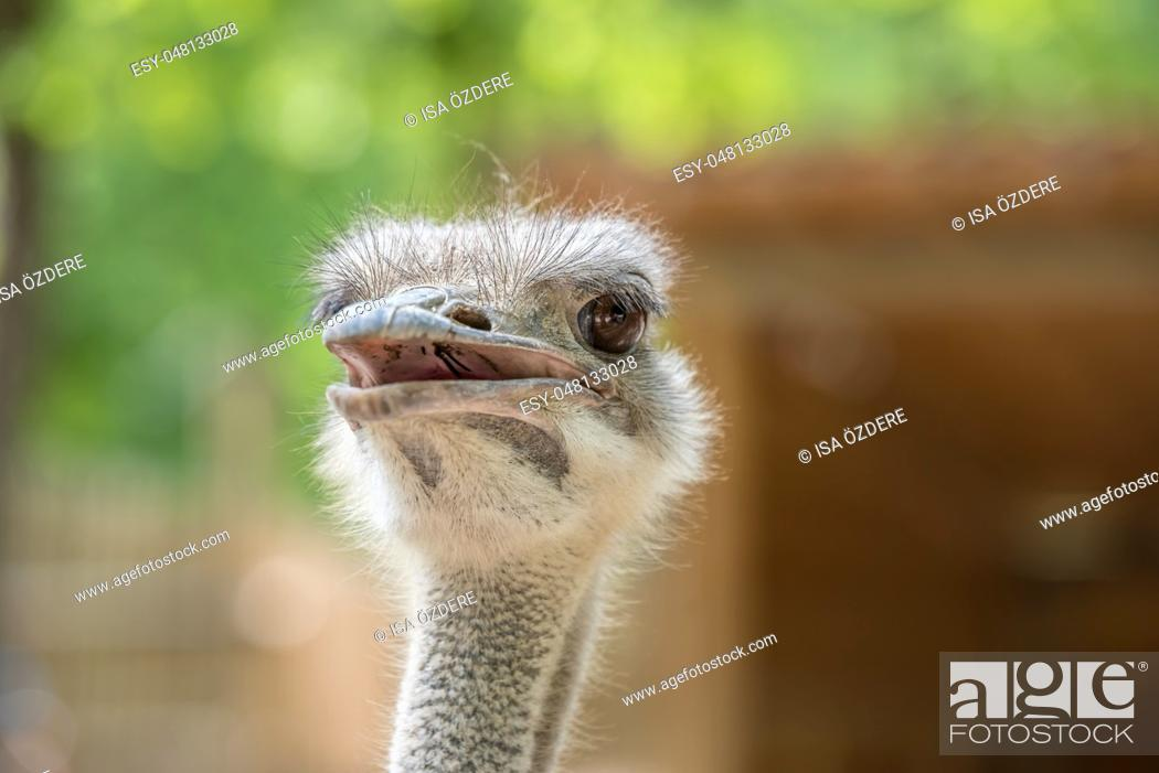 Stock Photo: Ostrich Close up portrait with neck, Close up ostrich head against dark background. Struthio camelus.