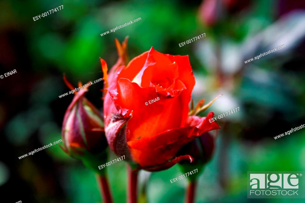 Stock Photo: Foto of red rose in parents garden.