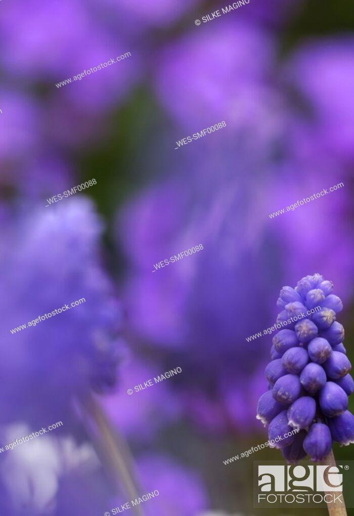 Stock Photo: Grape hyacinths, Close-up.