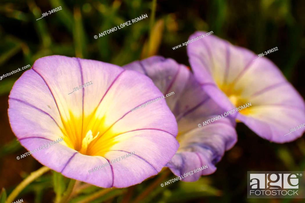 Stock Photo: Convolvulus tricolor.