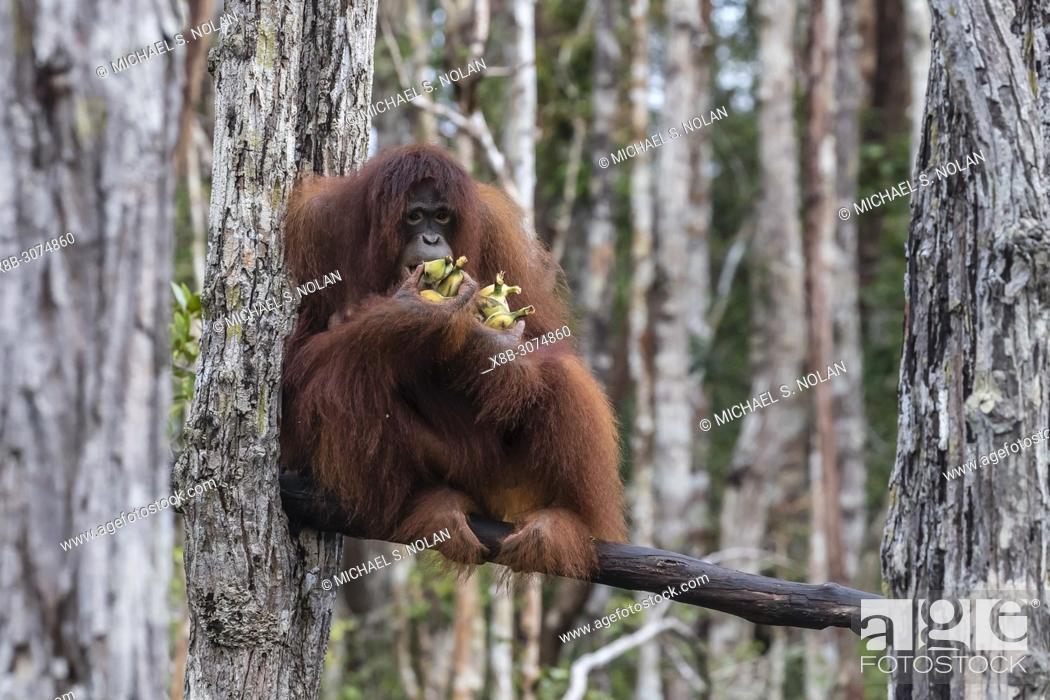 Stock Photo: Bornean orangutans, Pongo pygmaeus, on feeding platform, Buluh Kecil River, Borneo, Indonesia.