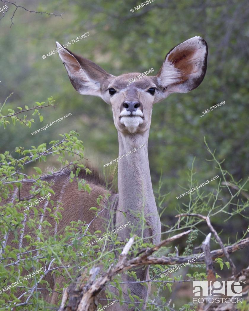 Stock Photo: Portait of greater kudu (Tragelaphus strepsiceros) female, Okonjima Nature Reserve, Namibia.