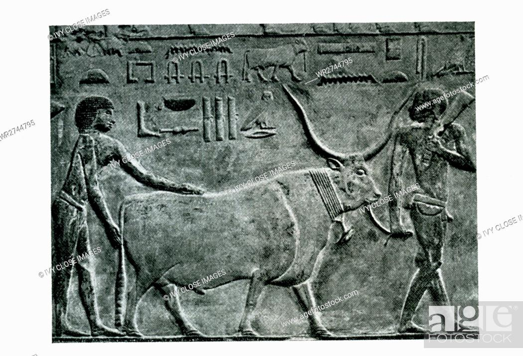 Imagen: This carved relief shows a farmer bringing in a steer. It is from the Old Kingdom tomb of Princess Idut at Saqqara. Saqqara served as a huge burial ground in.