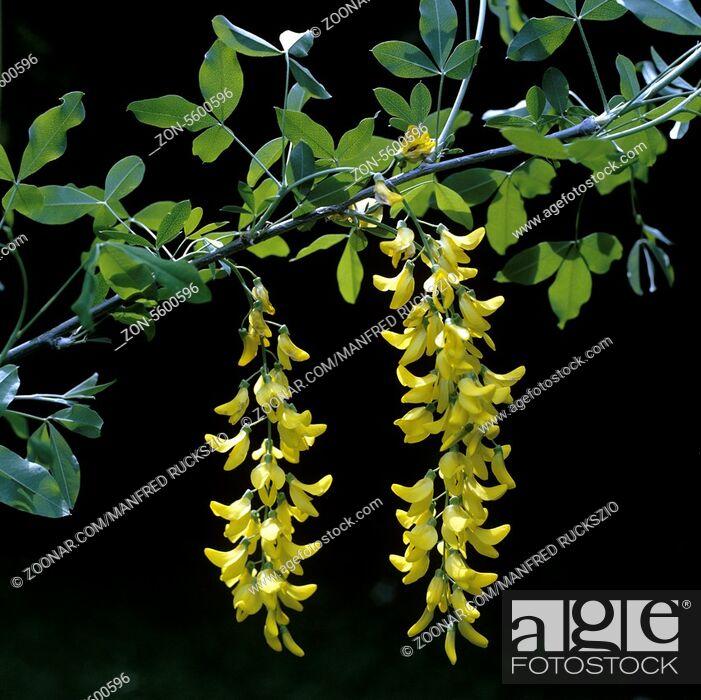 Stock Photo: Goldregen, Laburnum vulgare, -.
