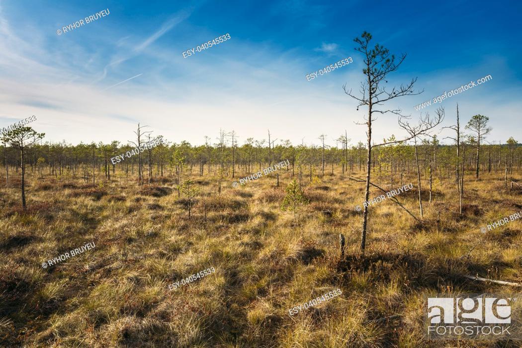 Stock Photo: Bog grassy. Dwarf trees growing near the marsh bog. Autumn season.