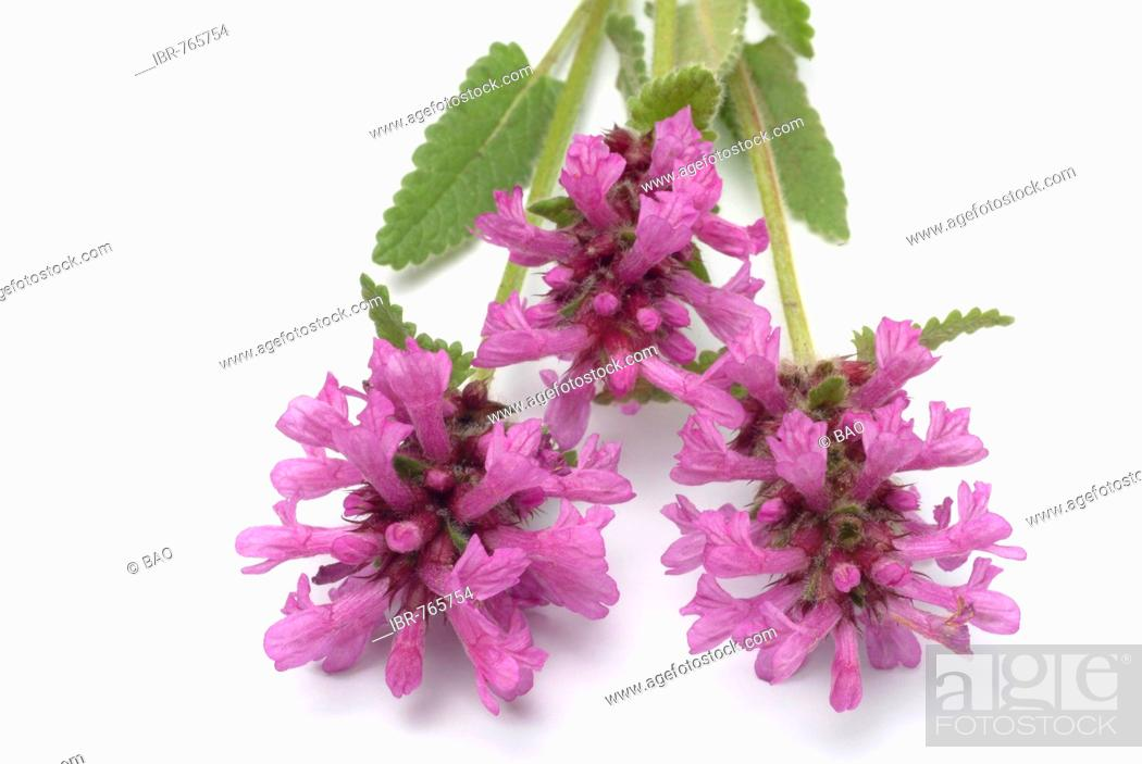 Stock Photo: Purple Betony, Wood Betony or Bishop's Wort (Stachys officinalis, Betonica officinalis), medicinal plant.