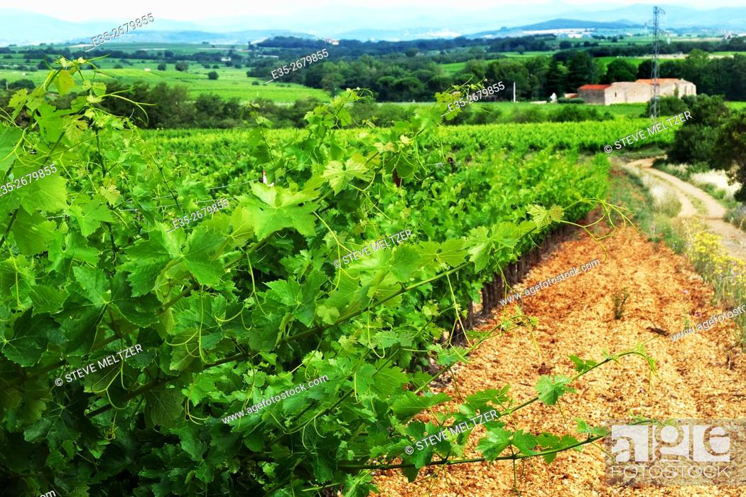 Stock Photo: A vineyard in the Languedoc region of France.