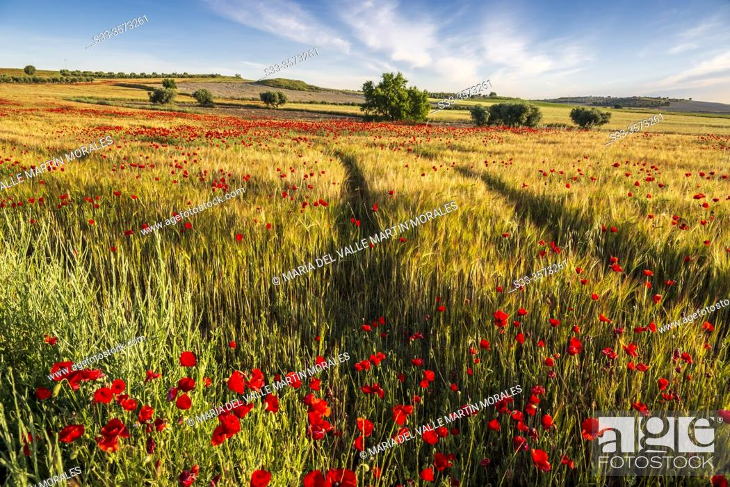 Stock Photo: Ruts in the wheat field with poppies in Pinto. Madrid. Spain. Europe.