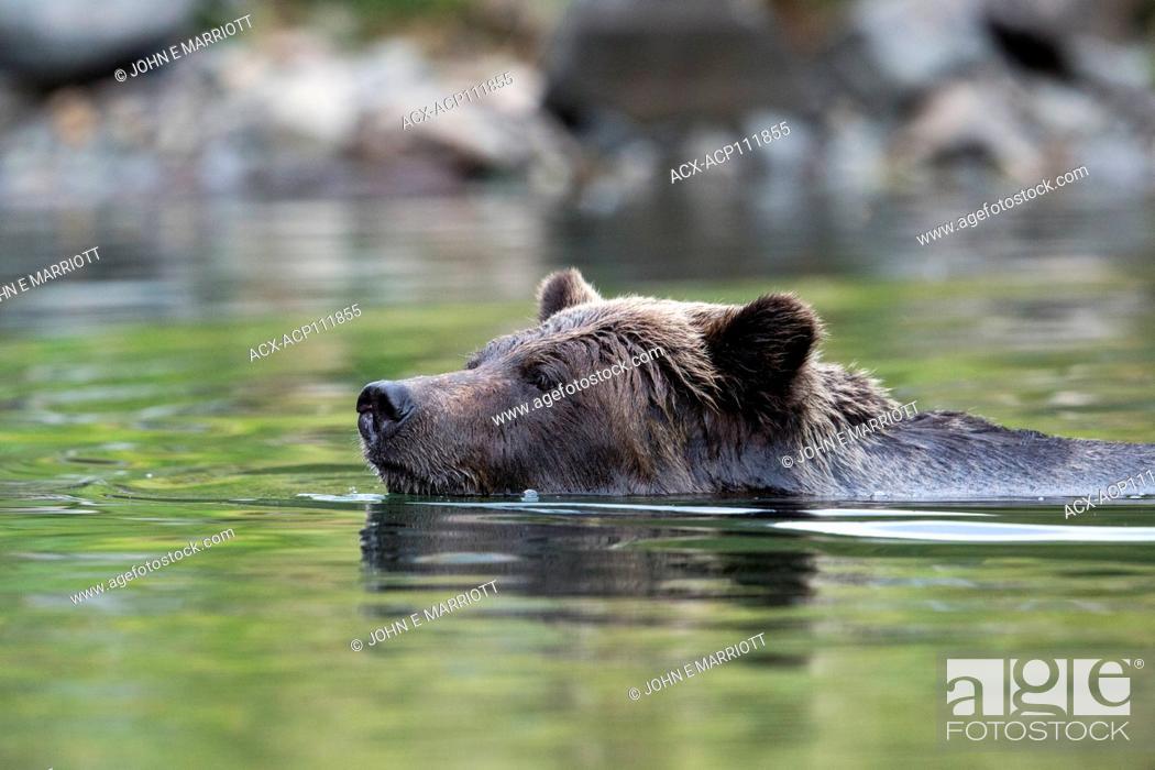 Photo de stock: Grizzly bear, Ursus arctos.