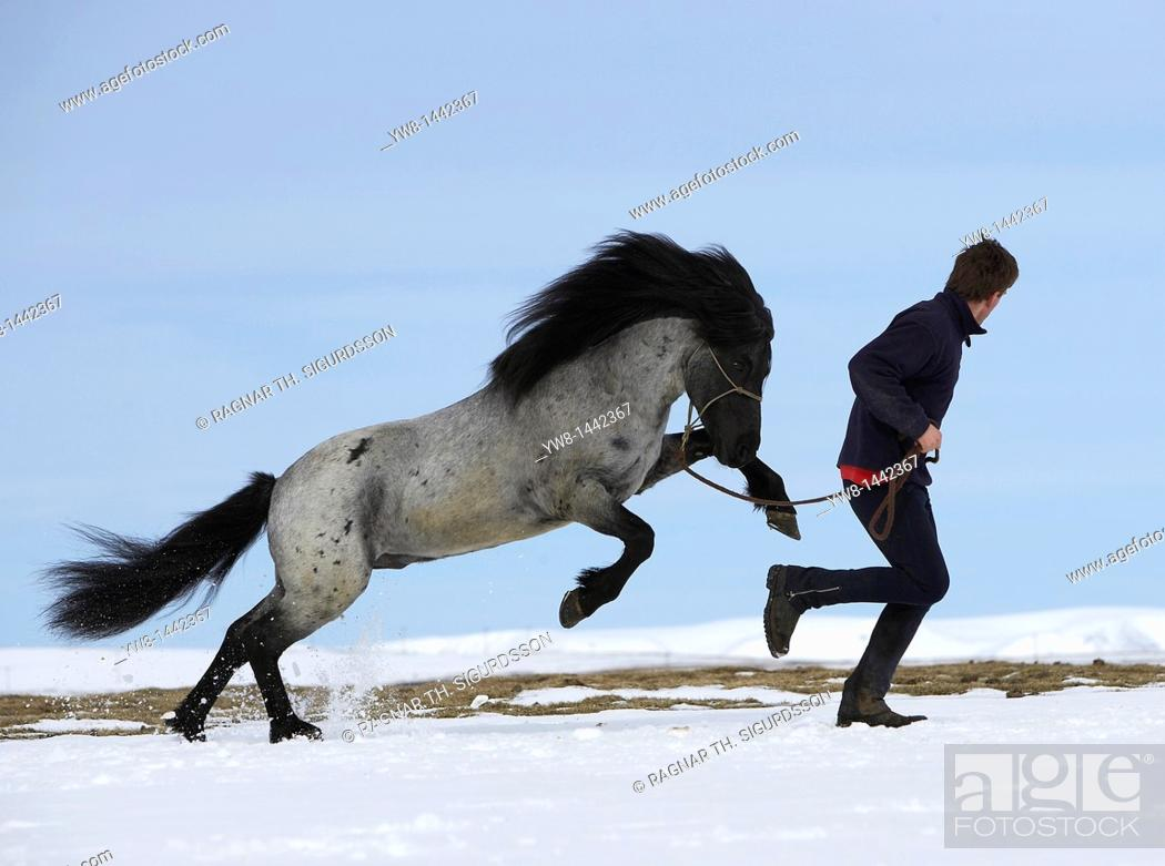 Stock Photo: Horse with trainer in winter, Iceland.