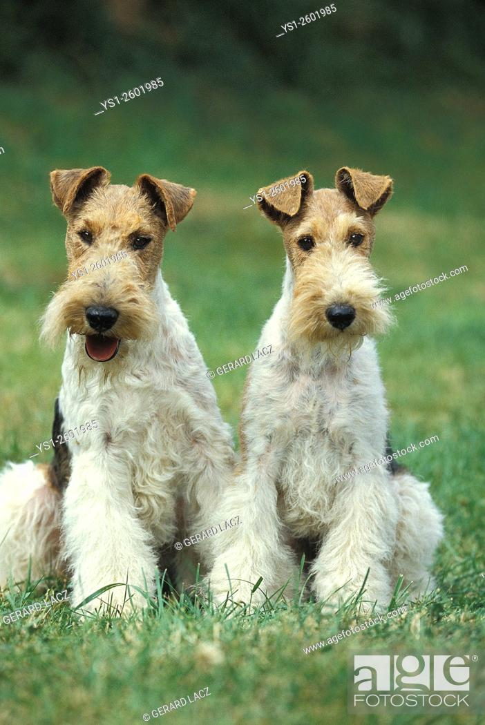 Stock Photo: Wire-Haired Fox Terrier, Dogs sitting on Grass.
