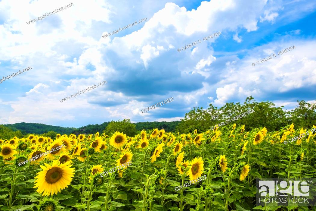Stock Photo: Fields of sunflowers in Dordogne valley Perigord Frane.