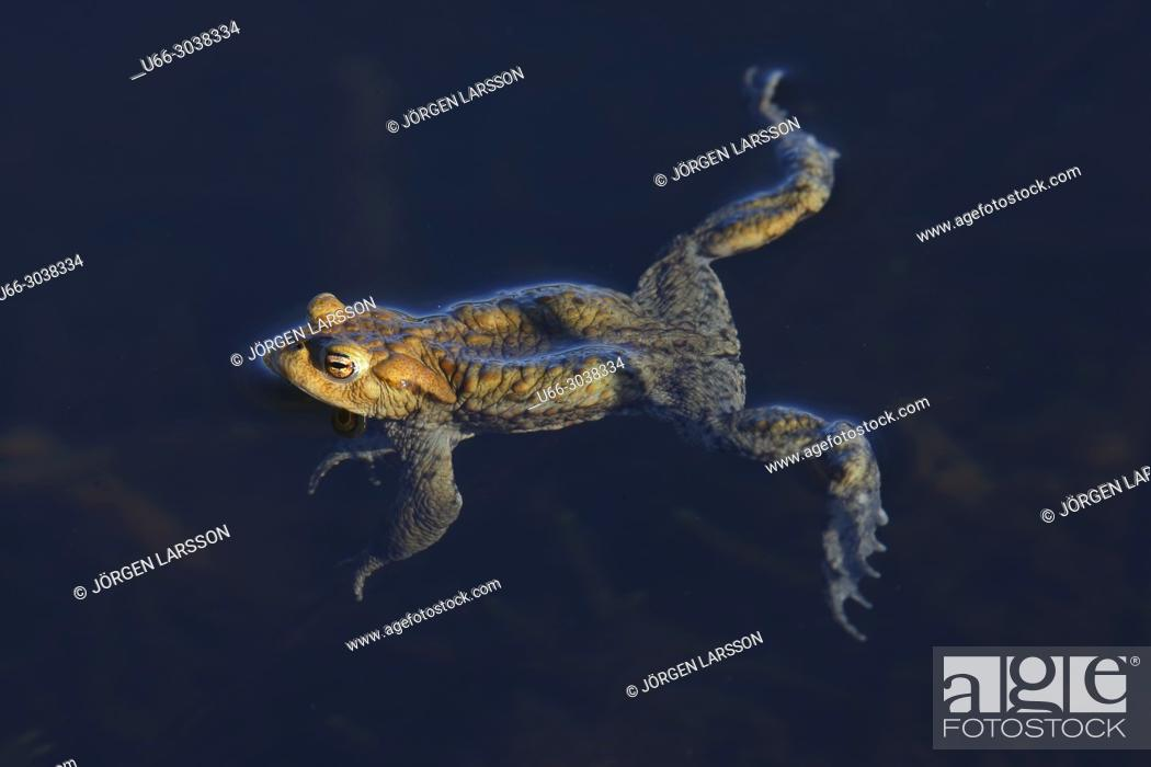 Stock Photo: Swimming Toad. Sodertalje, Sweden.