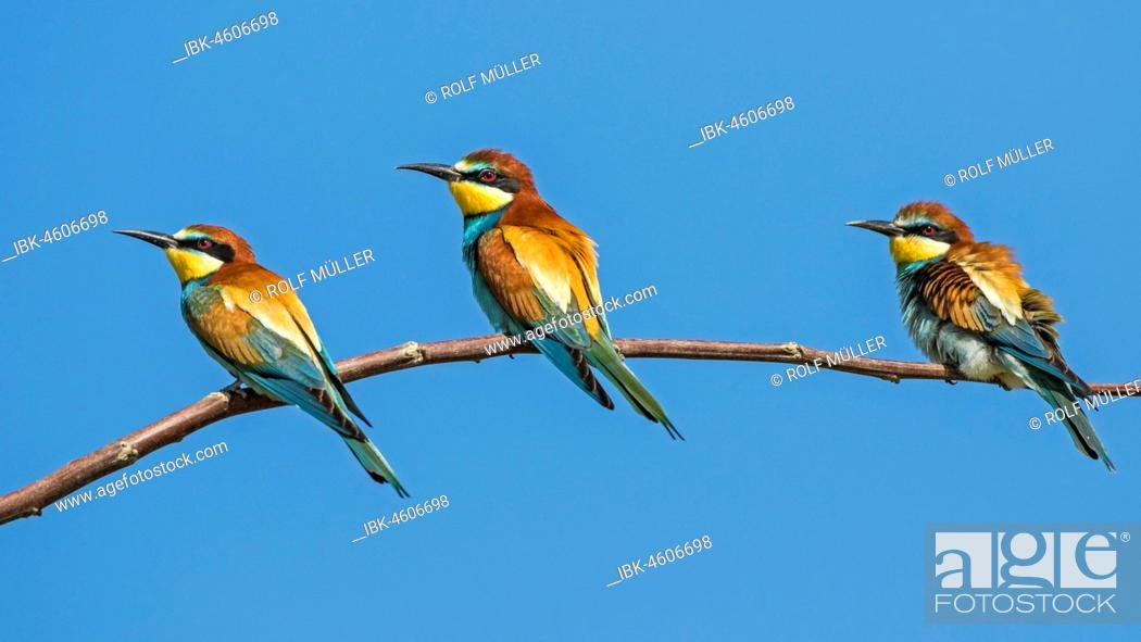 Stock Photo: Bee-eater (Merops apiaster) group at Ansitzast, Biosphere Reserve Danube Delta, Dobruja, Romania.