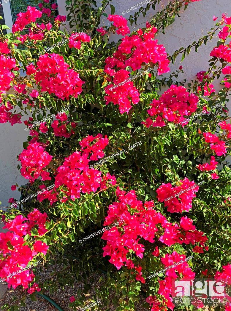 Stock Photo: Beautiful flowers of the thorny Bougainvilliia from Eastern South America.