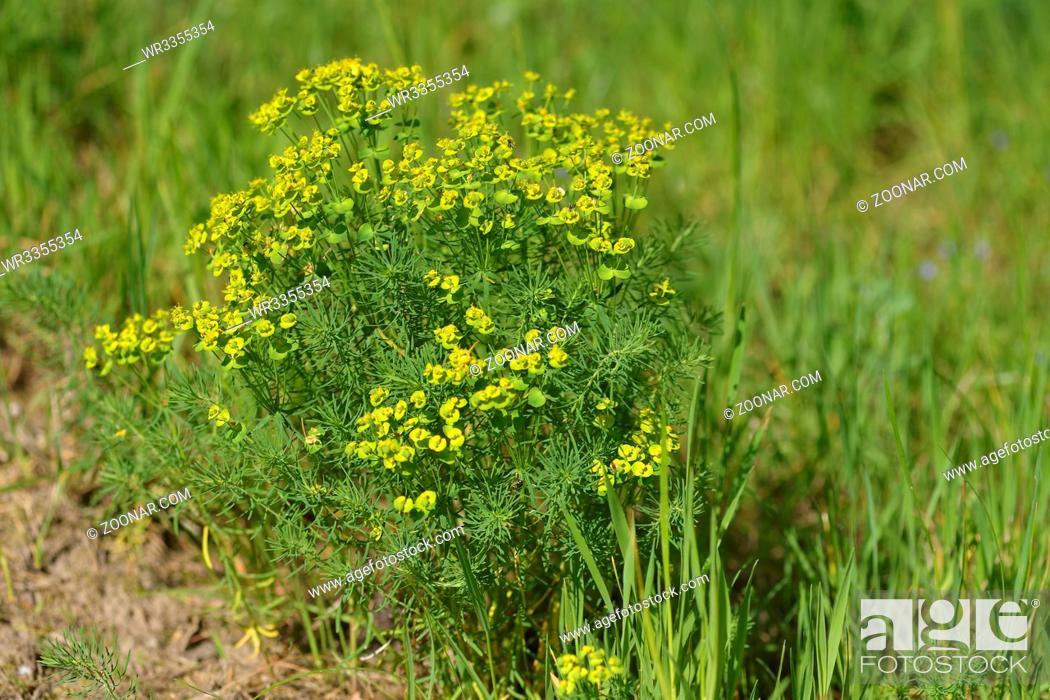 Stock Photo: Euphorbia cyparissias, the cypress spurge. Zypressen-Wolfsmilch Strauch.