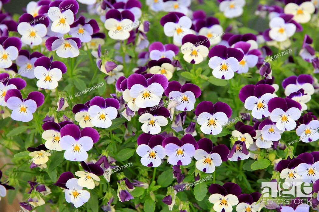 Stock Photo: pansy Flower.
