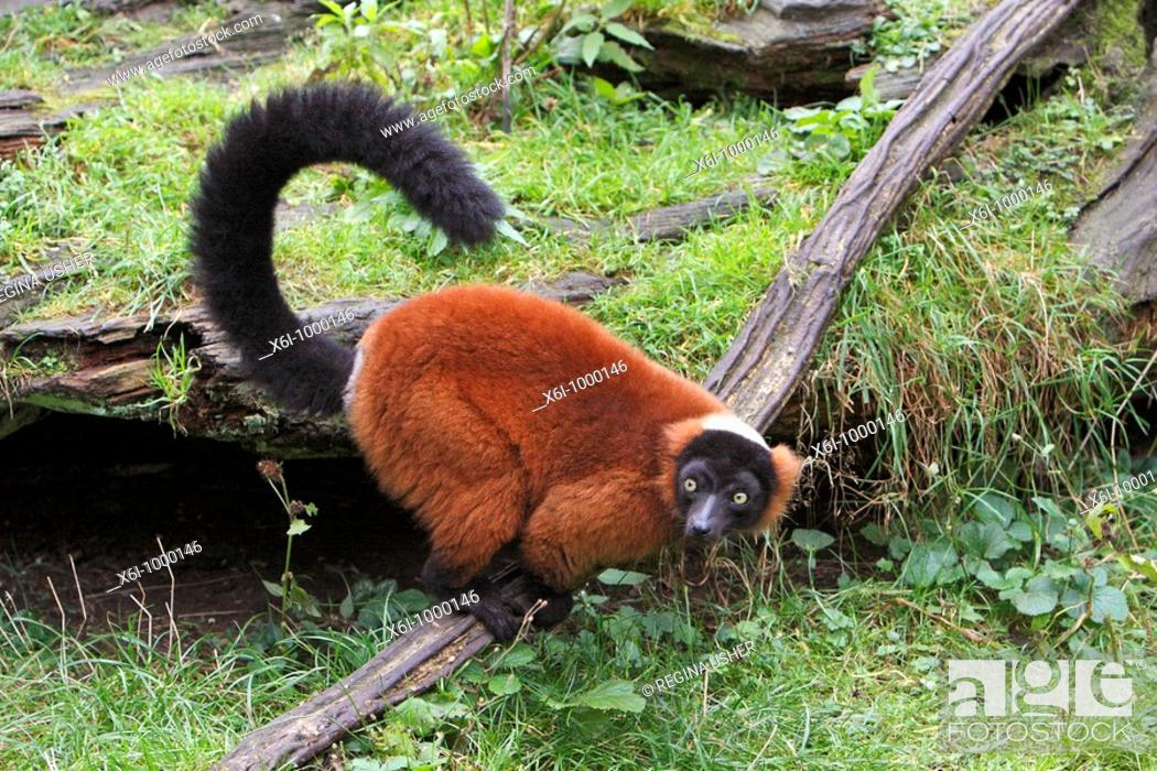 Stock Photo: Red Ruffed Lemur Varecia variegata, searching for food on ground.