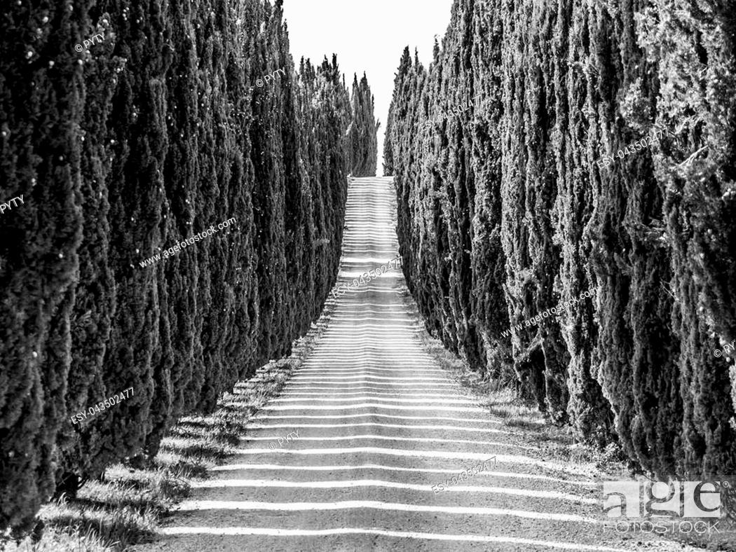 Stock Photo: Cypress alley with rural country road, Tuscany, Italy. Black and white image.