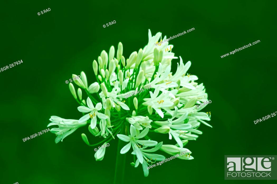 Imagen: white flower, India, Asia.