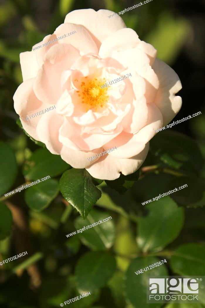 Stock Photo: Blossom, Close-Up, Day, Flower, Fresh.