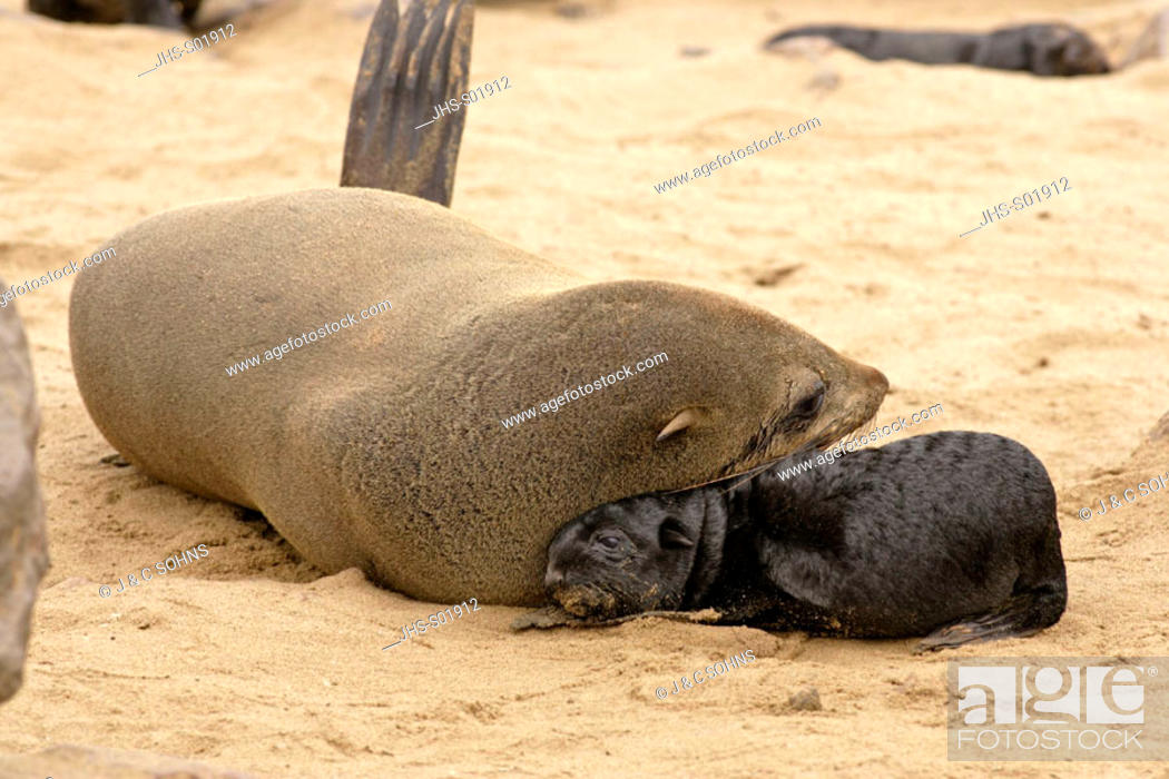 Stock Photo: Cape Fur Seal, Arctocephalus pusillus, Cape Cross, Namibia , Africa, adult with pup.