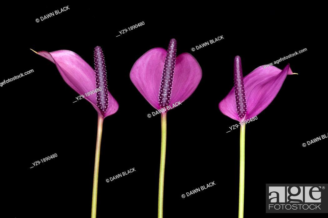 Stock Photo: Anthurium anderianum 'Sensa' trio.