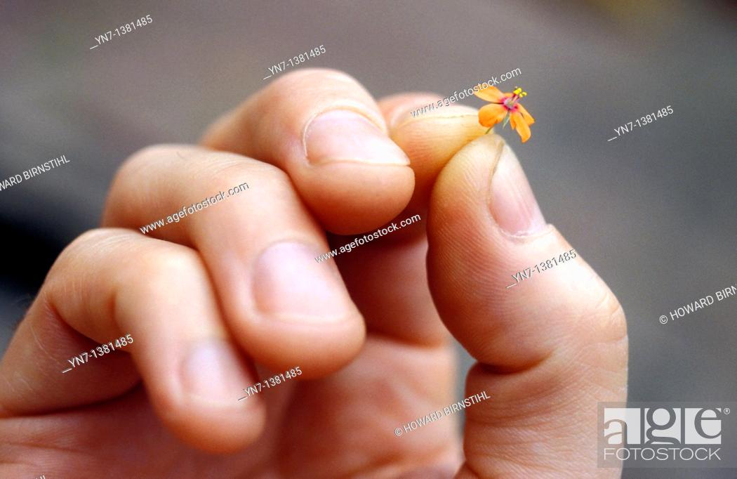 Stock Photo: close up of a hand holding a very small orange flower.