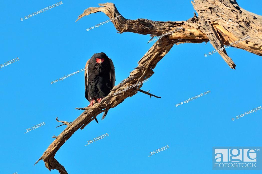 Stock Photo: Bateleur eagle (Terathopius ecaudatus), perched on a dead tree, Kgalagadi Transfrontier Park, Northern Cape, South Africa, Africa.