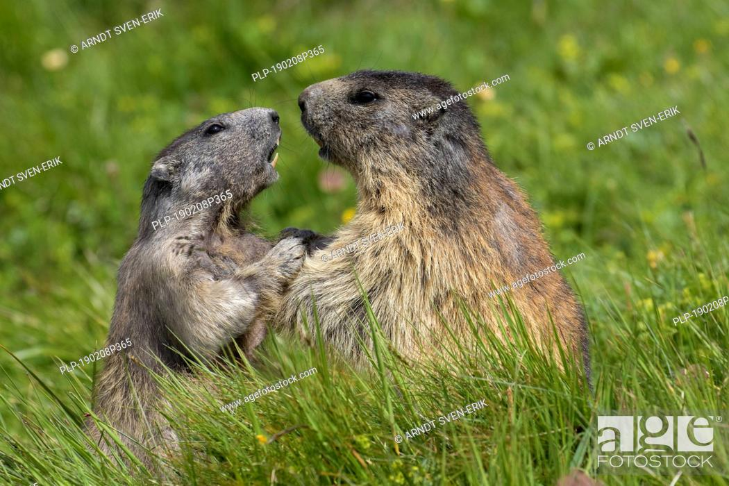 Stock Photo: Alpine marmot (Marmota marmota) adult playing with young, Hohe Tauern National Park, Carinthia, Austria.