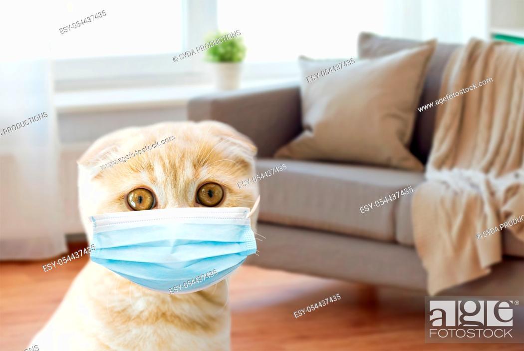 Stock Photo: close up of scottish fold kitten in medical mask.