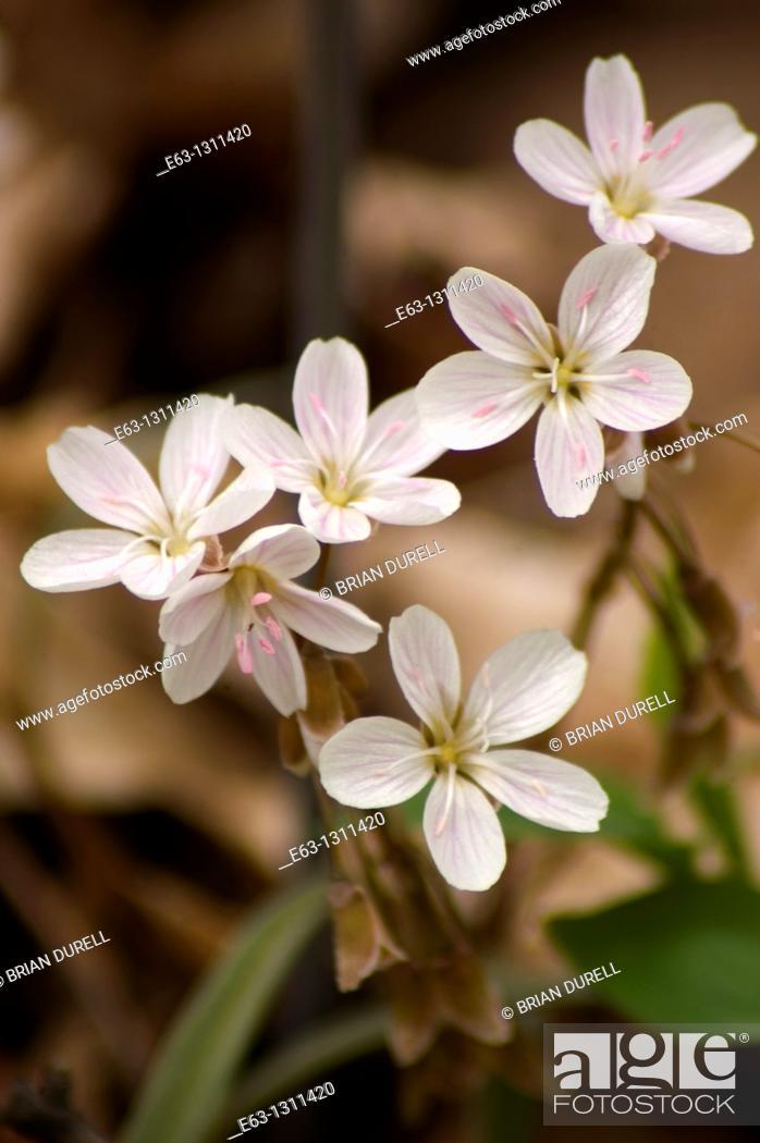Stock Photo: Spring beauty Claytonia virginica Mountain View, Ontario, Canada.