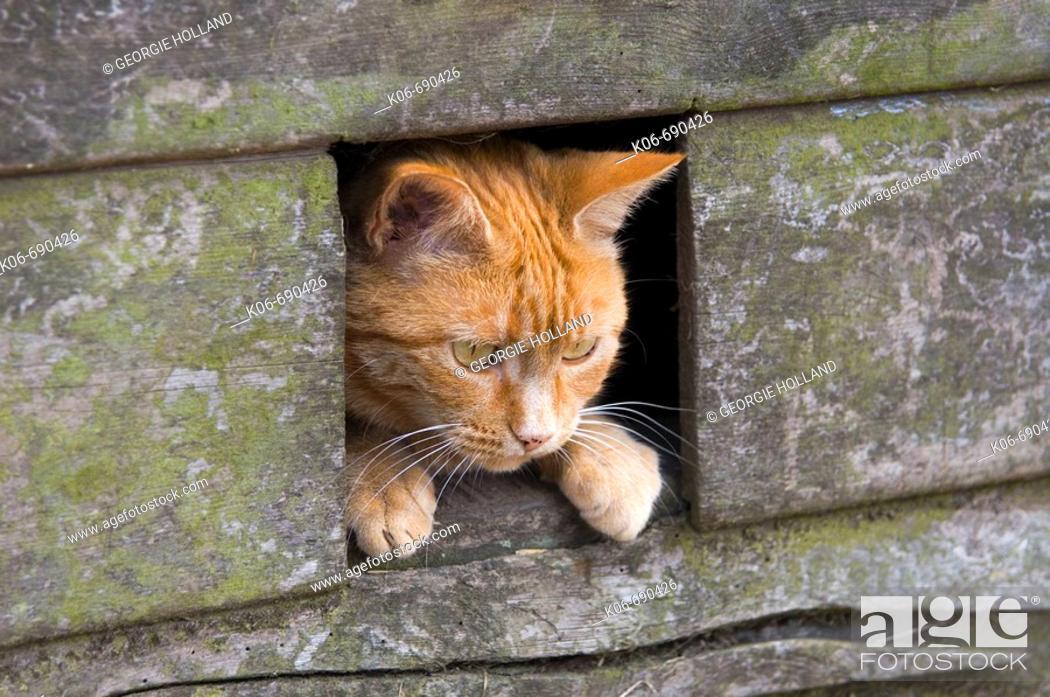 Stock Photo: Ginger cat looking through cat hole. UK.