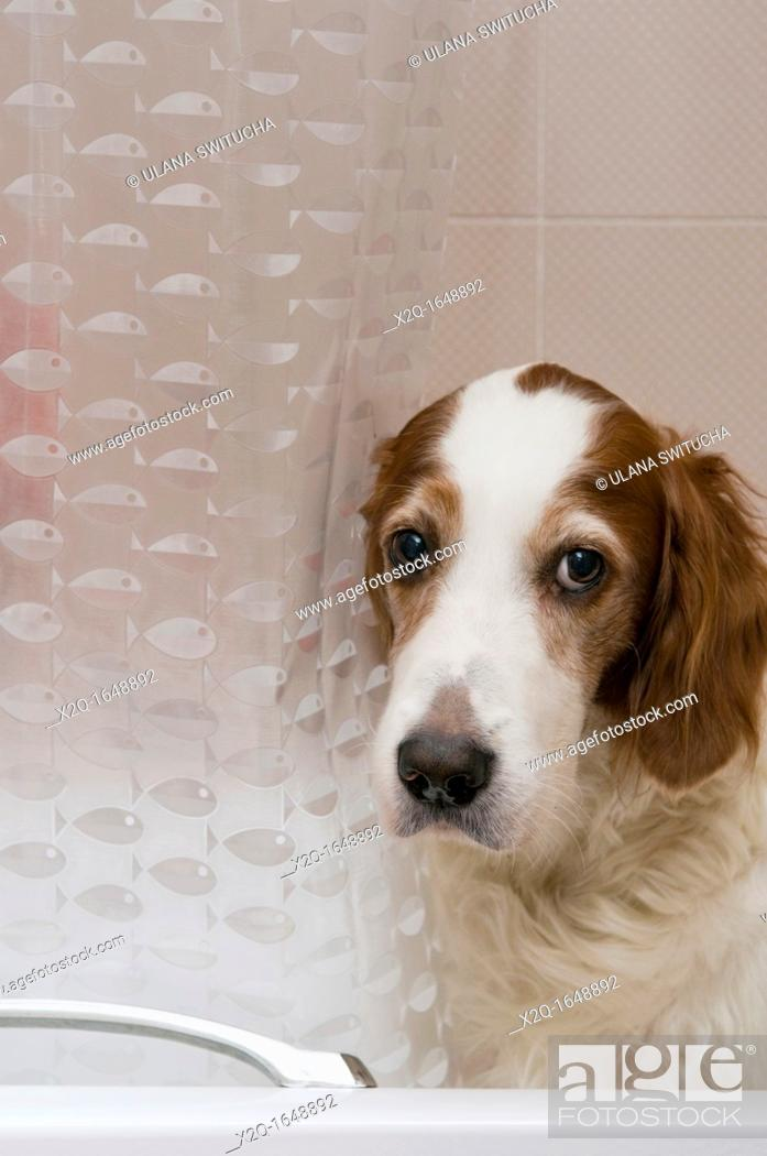 Stock Photo: A Red and White Setter dog in a bathtub.