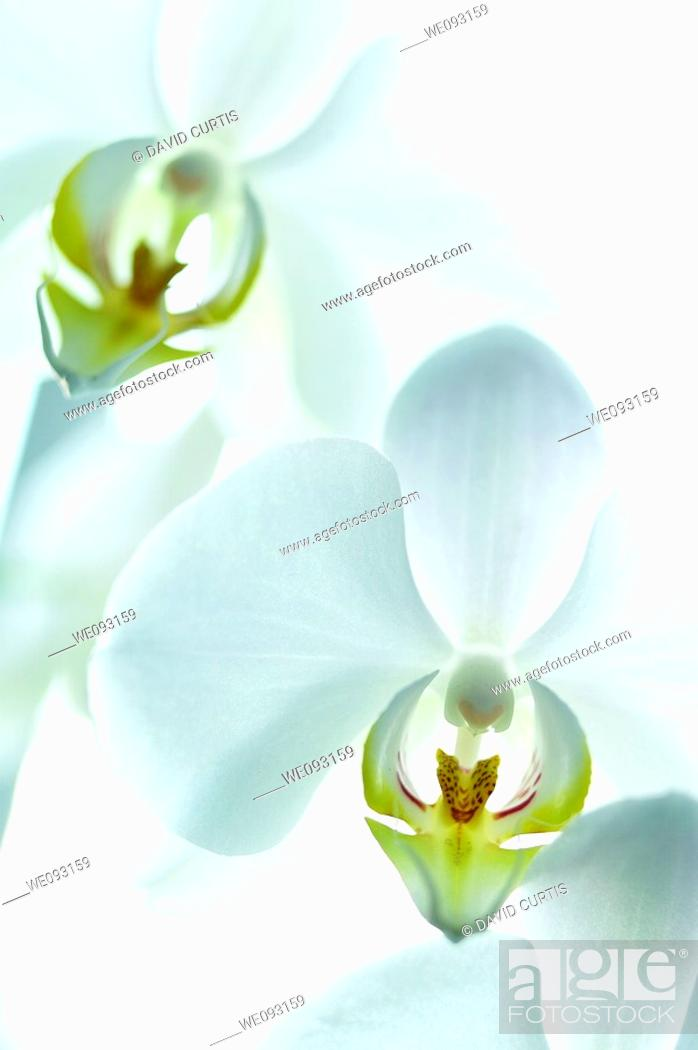 Stock Photo: Close up of white Orchid.