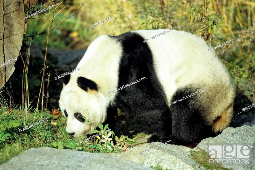 Stock Photo: Giant Panda (Ailuropoda melanoleuca).