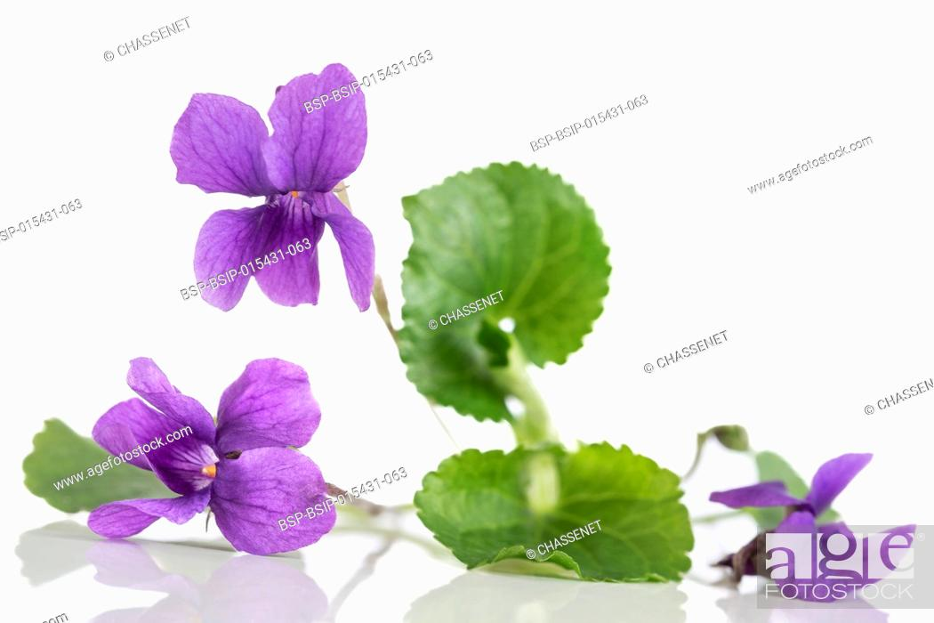 Stock Photo: Violet flower, detailIt is also known as Sweet or English Violet.