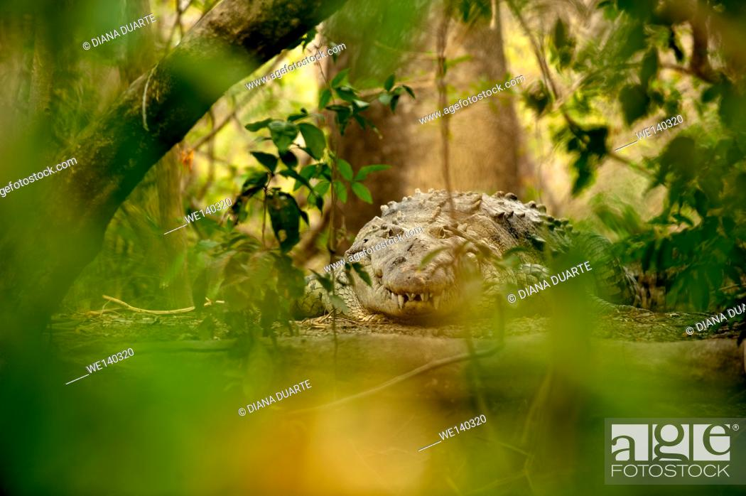 Stock Photo: 'American crocodile (Crocodylus acutus)'. Adult American Crocodiles do not have any predators, with the exception of large sharks, humans.