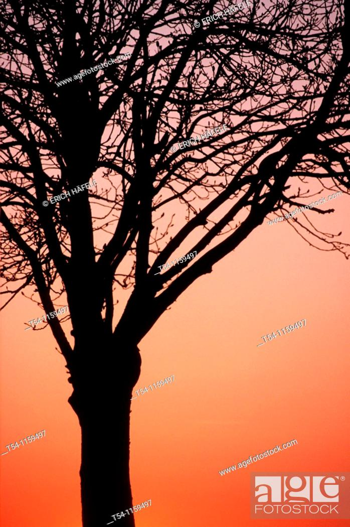 Stock Photo: Act of Cluster deciduous tree in the sunset.