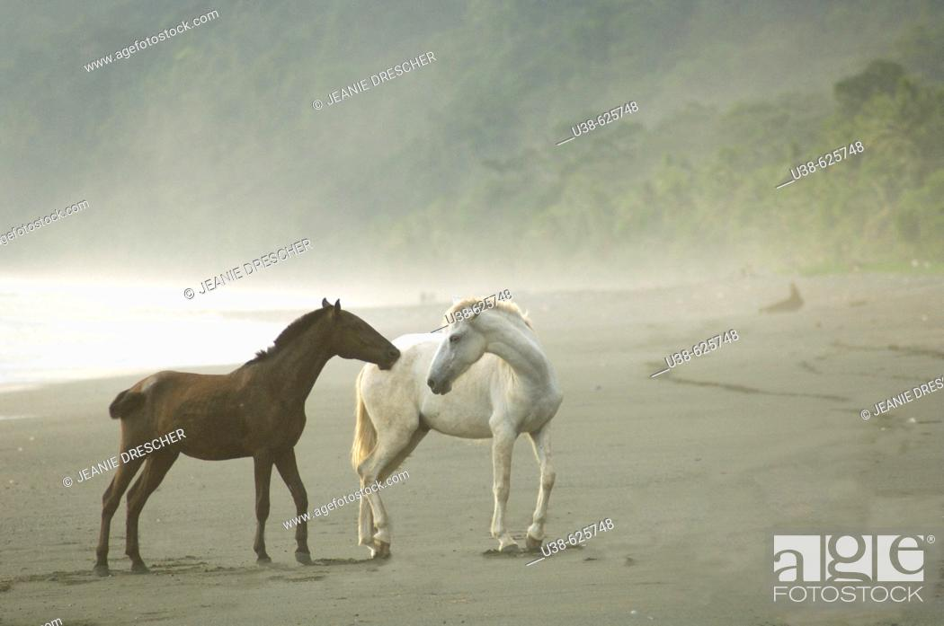 Stock Photo: In the rain forest Wild Horses on the foggy beach interacting or playing. Dark brown and white horses. Osa Peninsula, Costa Rica.