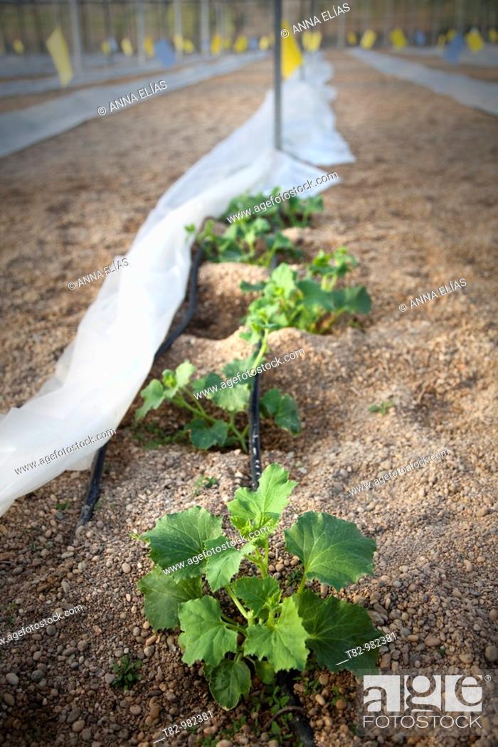 Stock Photo: melon seed greenhouse in El Ejido, Almeria,.
